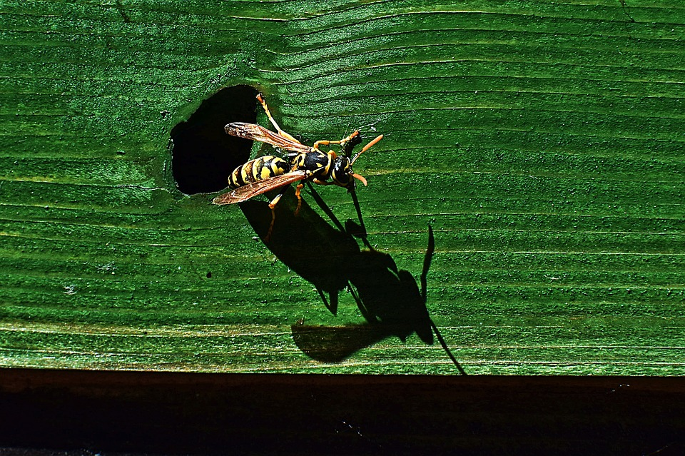 Wasp, Insect, Animal, Nature, Shadow