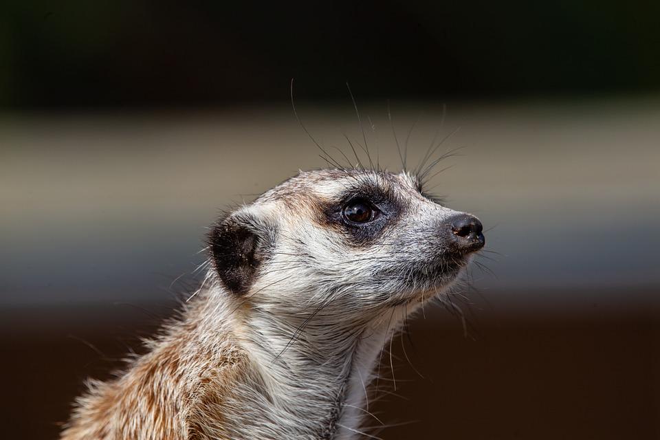 Meerkat, Watching, Close Up, Watch, Animal, Mammal