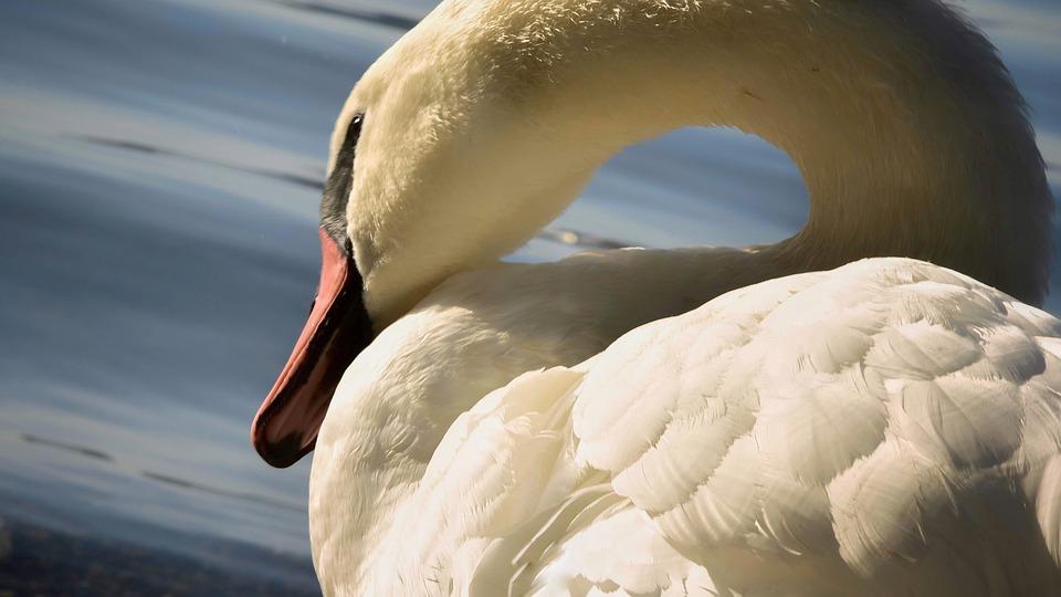 Swan, Water, Animal, Nature, Animal World, Lake, Waters