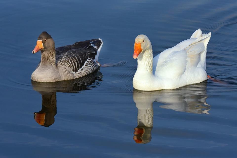 Goose, Water Bird, Animal, Wildlife, Plumage, Feather