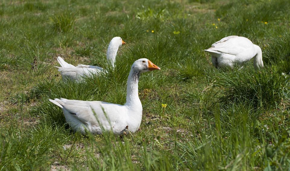 Geese, Animal, Fauna, Water Bird, Swimming Feet