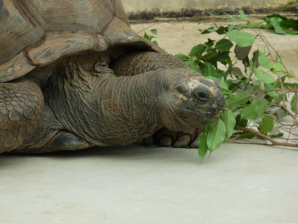 Turtle, Animal, Water Creature, Giant Tortoise, Zoo