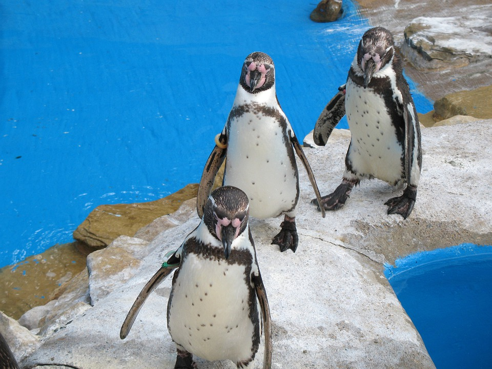 Water, Penguin, Penguins, Three, Group, Bird, Animal