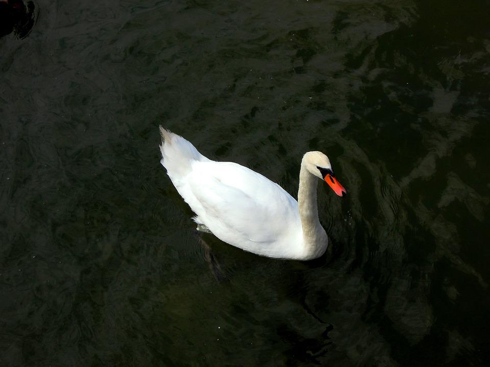 Swan, Water, Animal, Nature