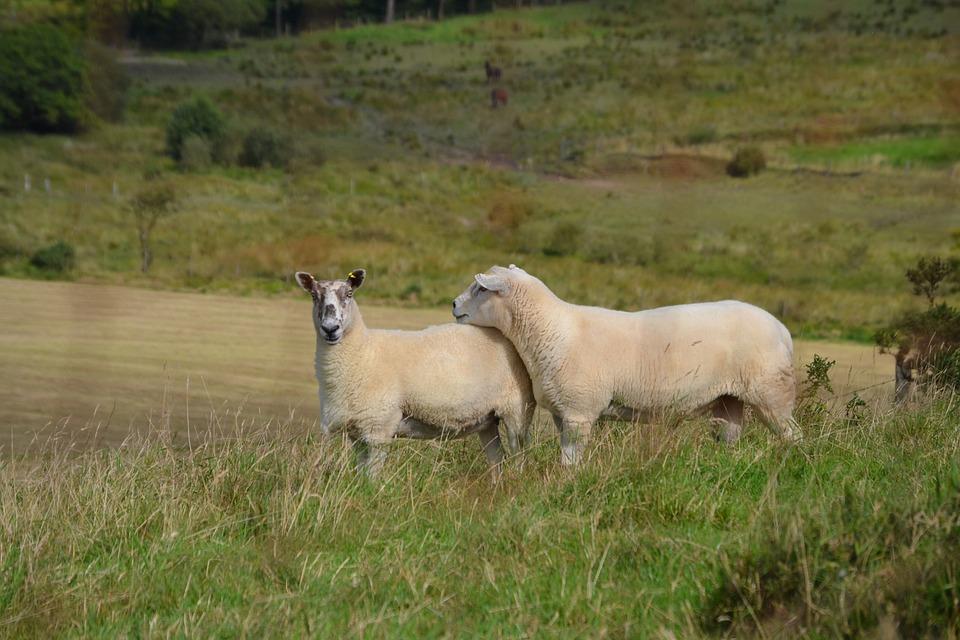 Sheep, Wool, Welsh, Livestock, Animal, Meadow, Mammal