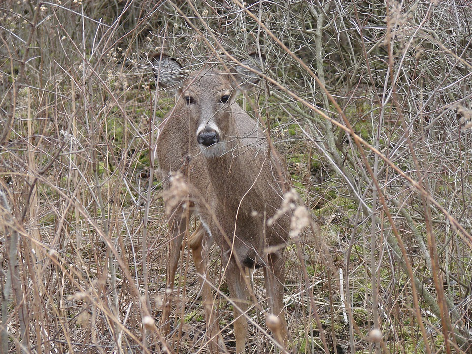 Nature, Furry, Sunny, Woods, White Tailed Deer, Animal