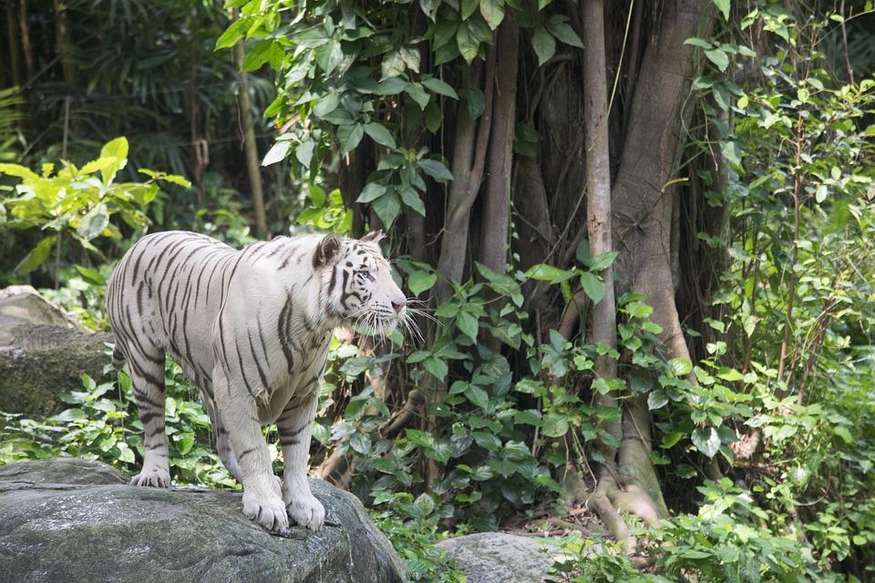 White Tiger, Tigers, Cat, Feline, Animal, Standing