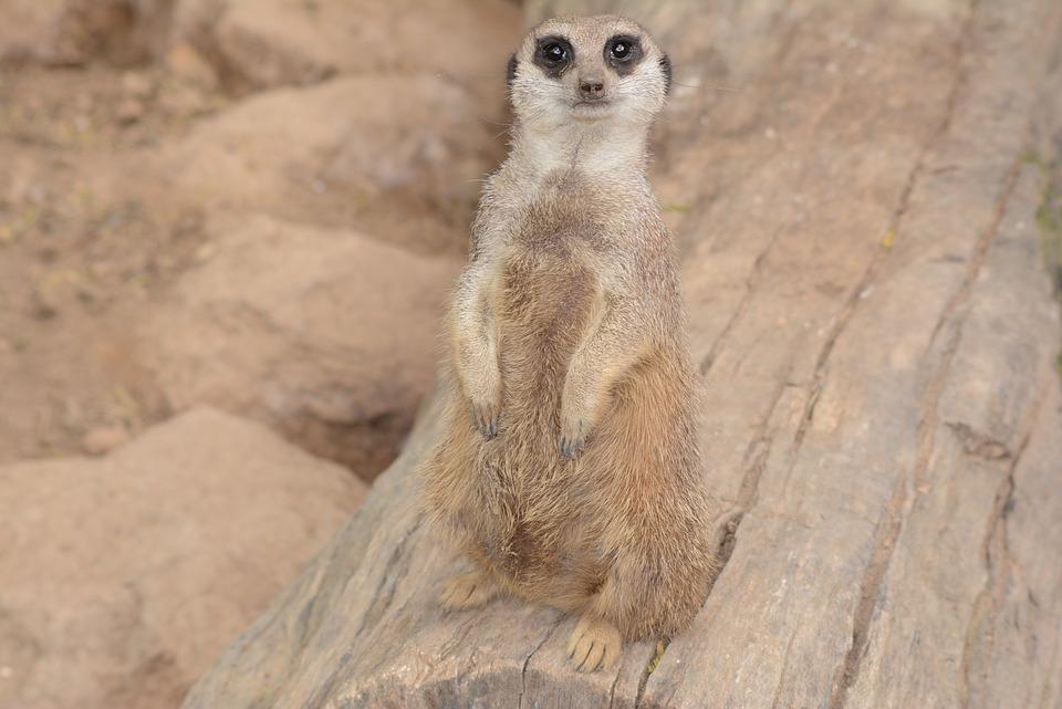 Meerkat, Wild Animal, Nature, Animal, Guard, Cute, Wild