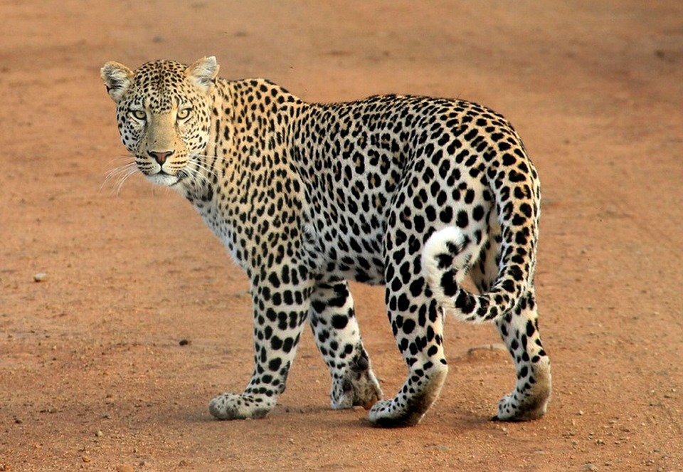 Leopard, Leopard Spots, Animal, Wild, Wildlife, Safari