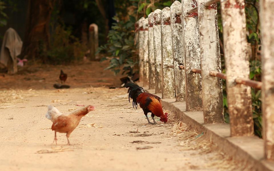 Bird, Nature, Animal, Chicken, Natural, Wild, Wildlife