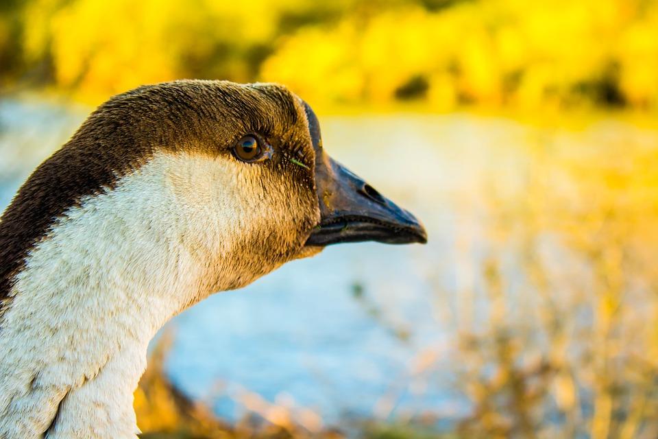 Duck, River, Sunset, Animal, Water, Nature, Wild, Pond