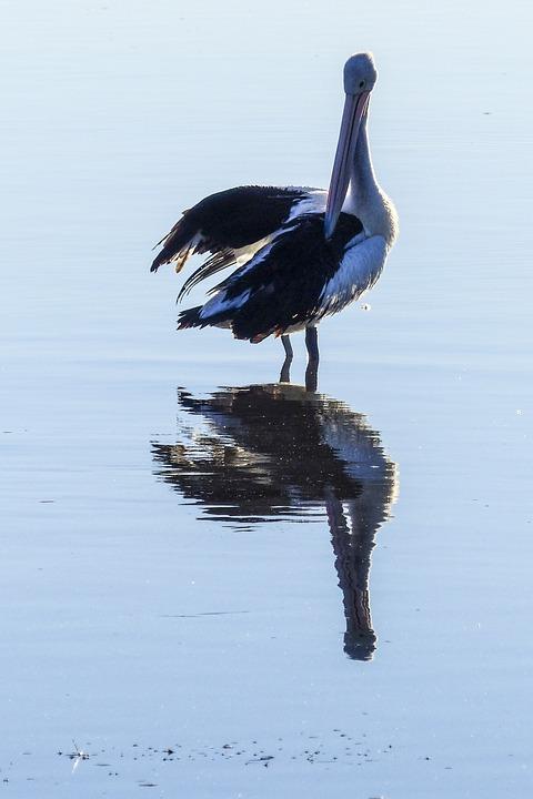 Australian Pelican, Water Bird, Nature, Animal, Wild