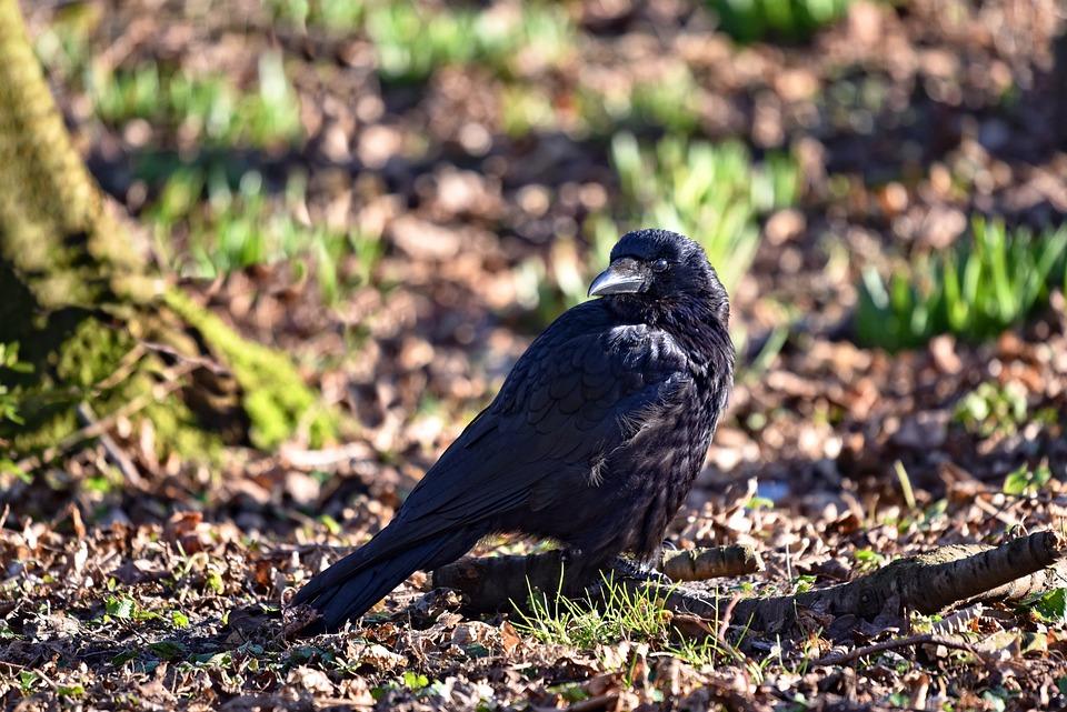 Crow, Bird, Corvus, Animal, Wildlife, Standing, Beak