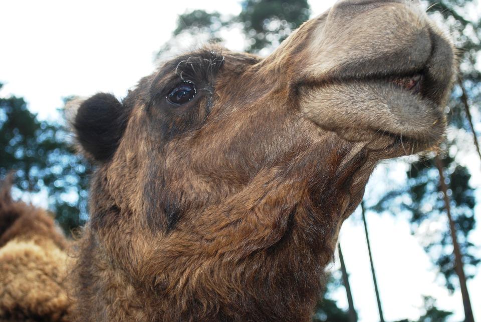 Camel, Animal, Wildlife, Wild, Zoology, Mammal, Species