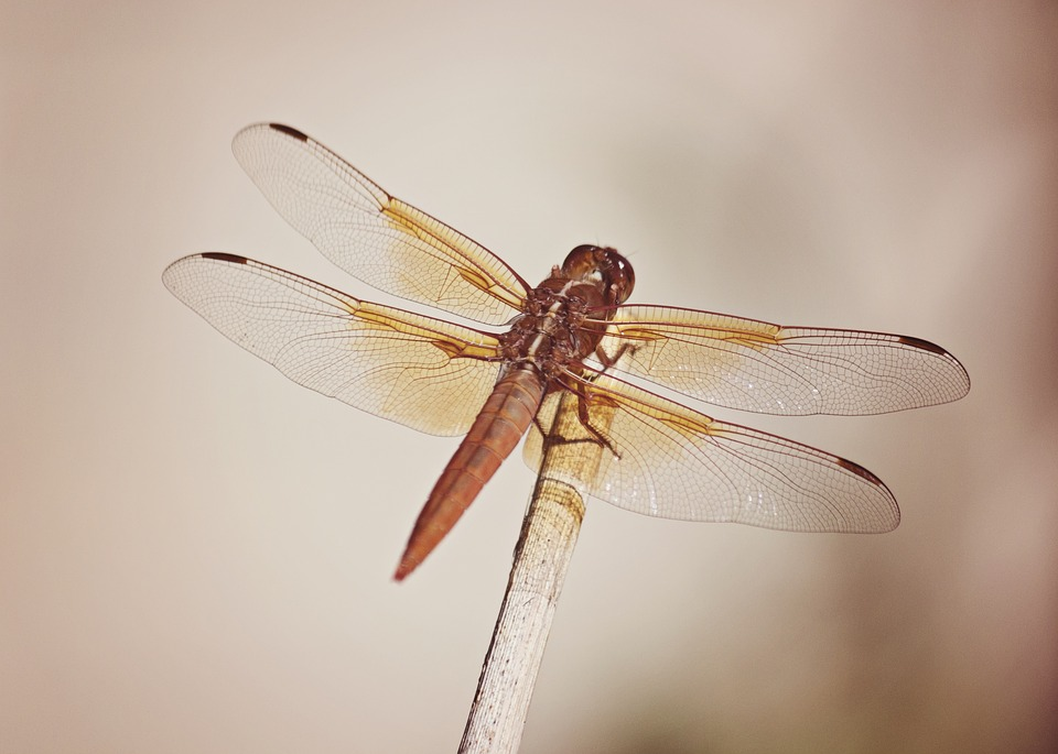 Dragonfly, Macro, Nature, Animal, Insect, Wildlife