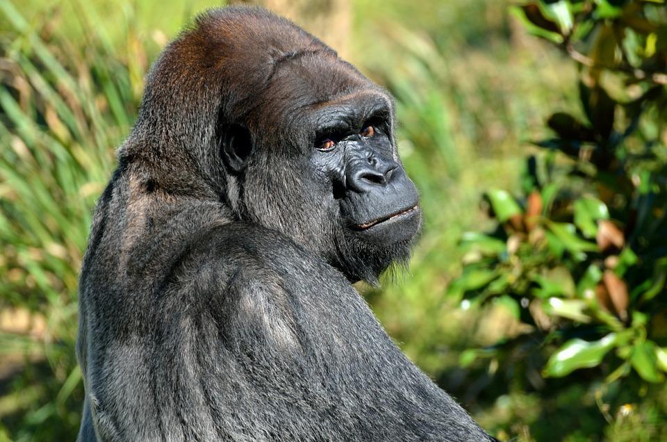 Silver Back, Gorilla, Animal, Mammal, Wildlife, Nature