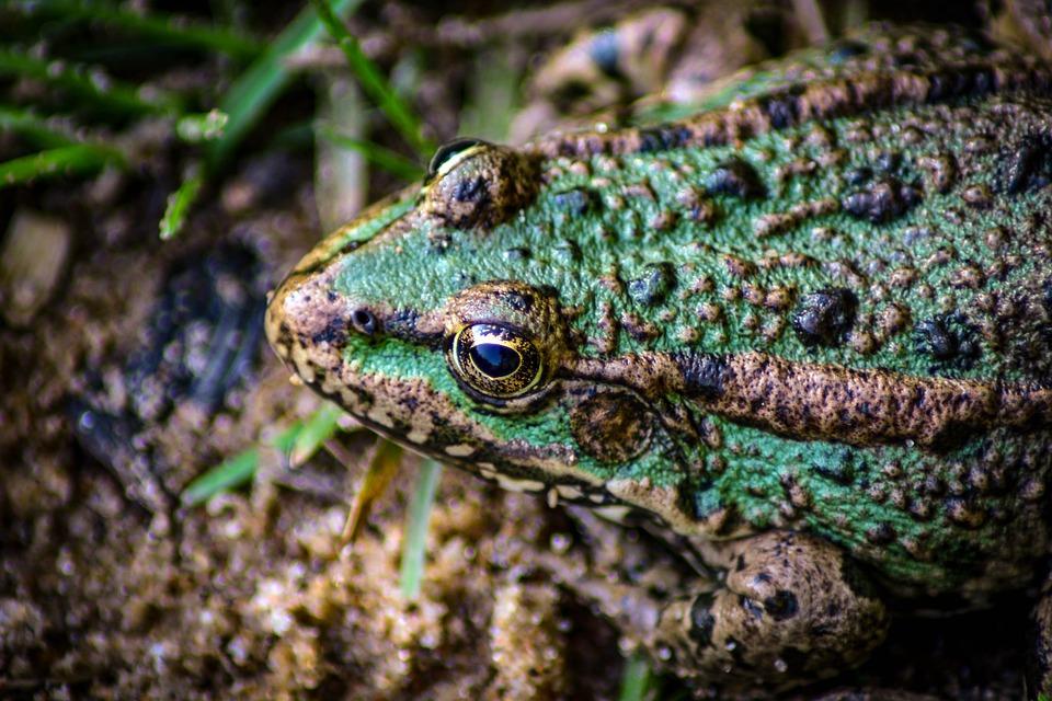 Nature, Frog, Reptile, Animal, Green, Wildlife, Exotic