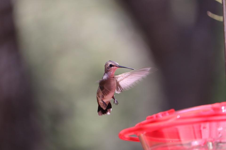 Hummingbird, Bird, Animal, Wildlife, Backyard