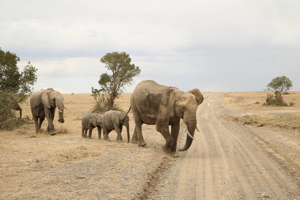 Elephant, Nature, Mammal, Wildlife, Safari, Animal
