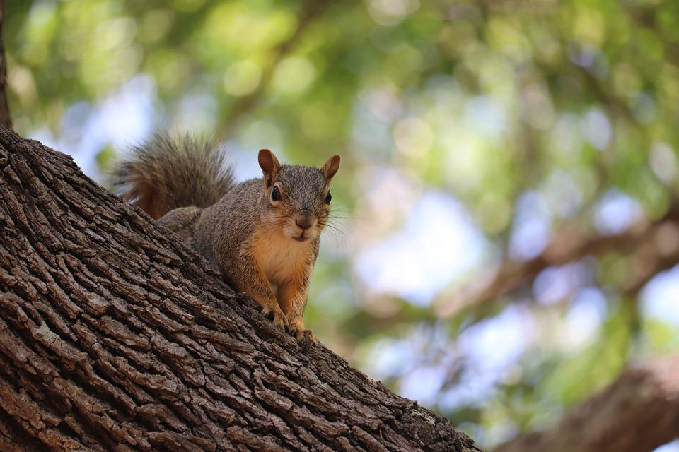 Squirrel, Rodent, Animal, Mammal, Wildlife, Tree