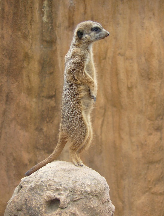 Meerkat, Suricate, Animal, Wildlife, Suricatta, Fur