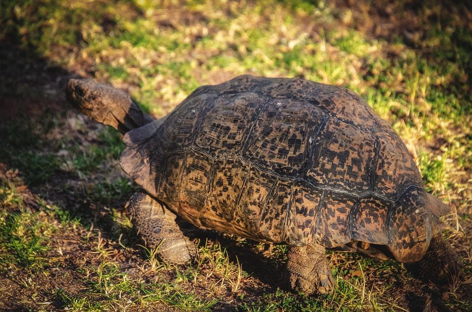 Tortoise, Leopard Tortoise, Animal, Africa, Wildlife