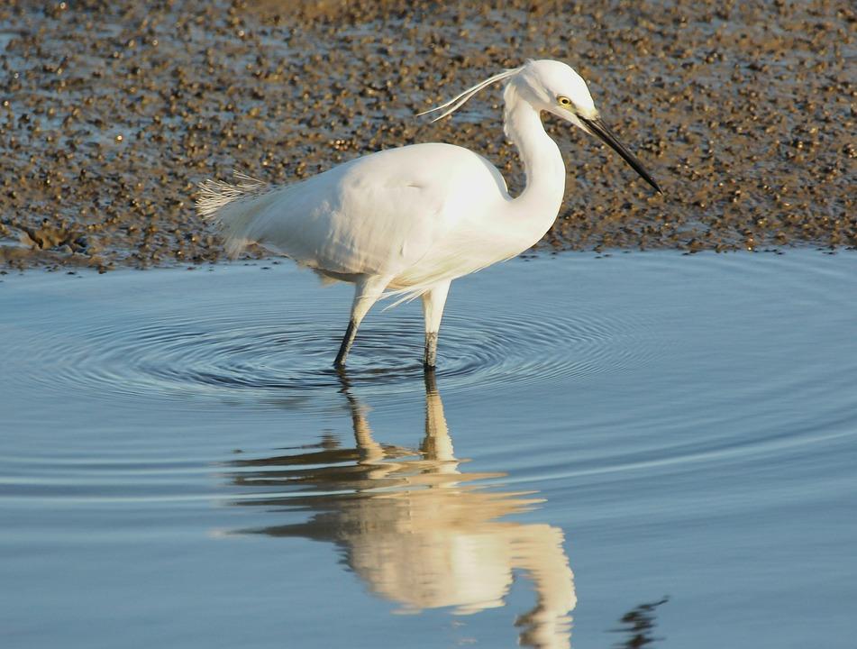 Bird, Water, Wildlife, Animal, Lake, Nature, Egret