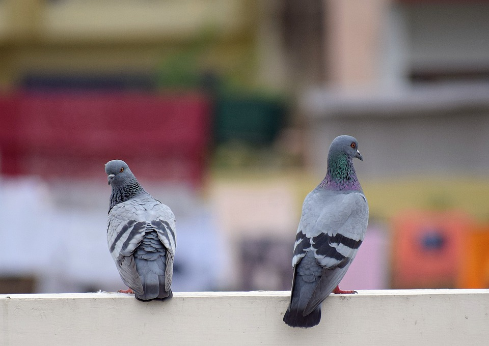 Birds, Pigeon, Dove, Animal, Feather, Wings, Nature