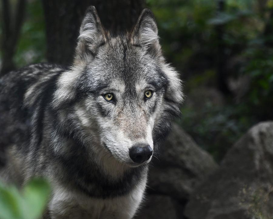 Wolf, Predator, Grey, Animal, Mammal, Portrait