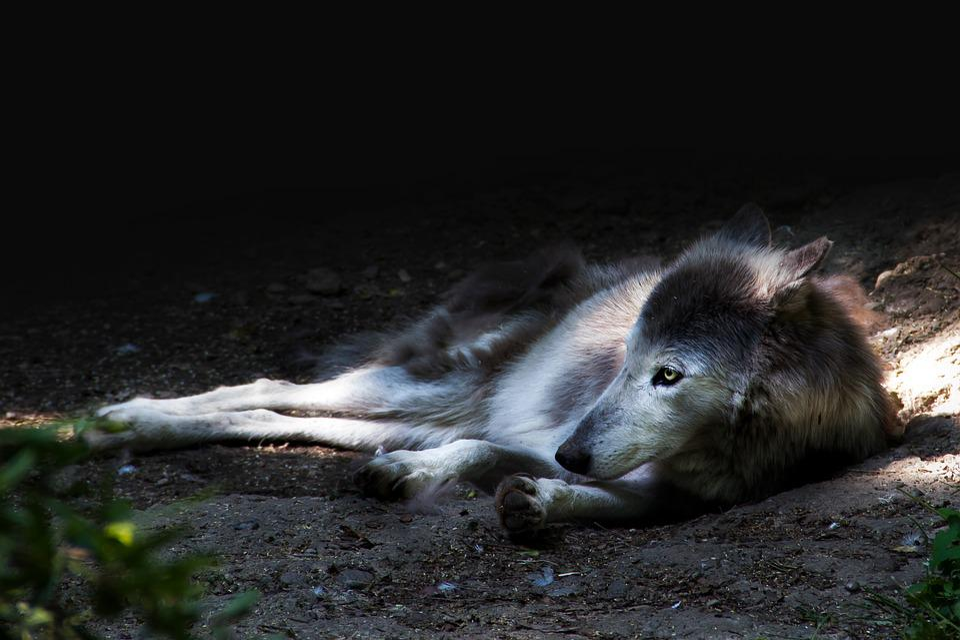 Wolf, Animal, Nature, Mammal, Animal World