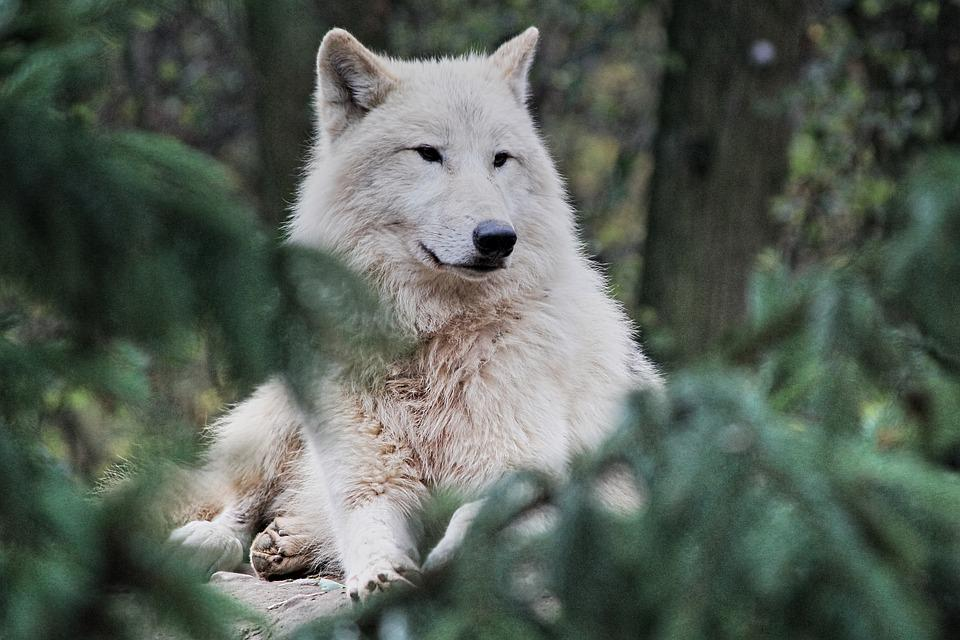 Arctic Wolf, Animal, Zoo, Wolf, White Wolf, Polar Wolf