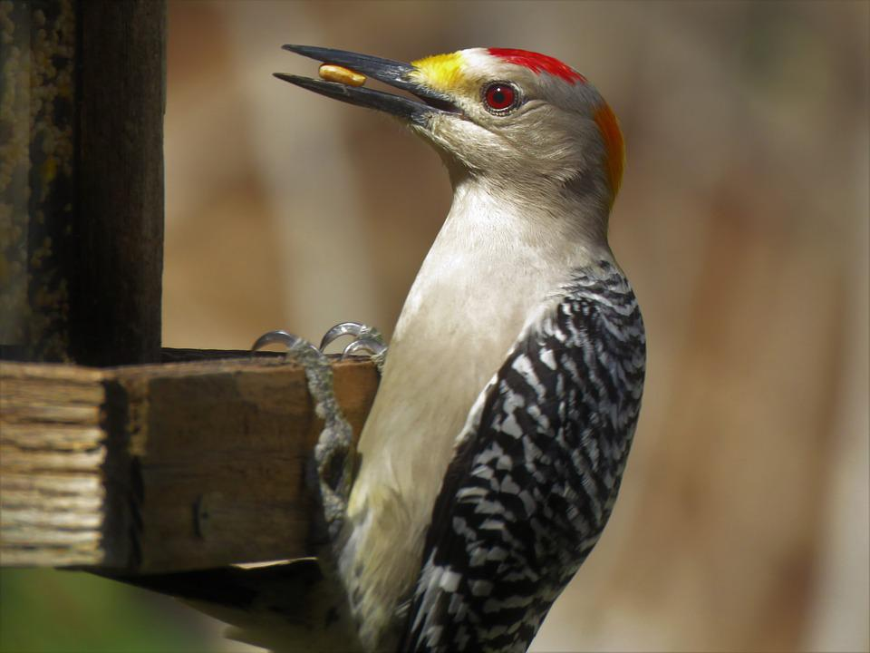 Woodpecker, Bird, Wildlife, Nature, Animal