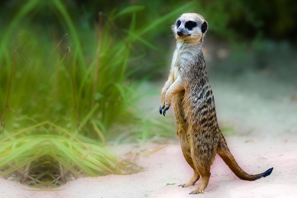 Animal World, Meerkat, Africa, Mammal, Desert, Vigilant