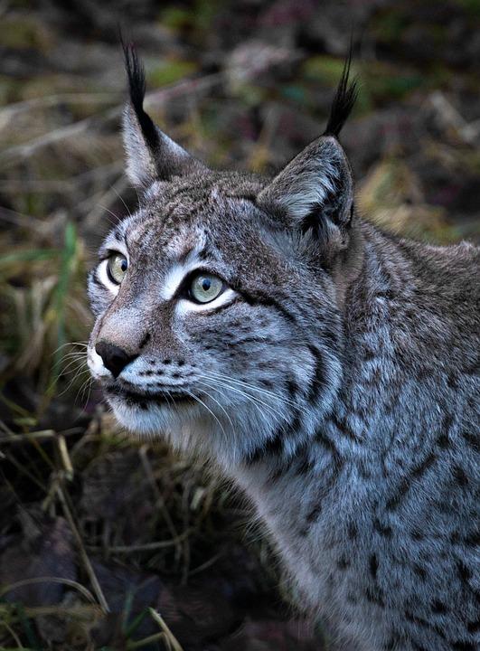 Lynx, Animal, Animal World, Nature, Cat, Wild, Predator