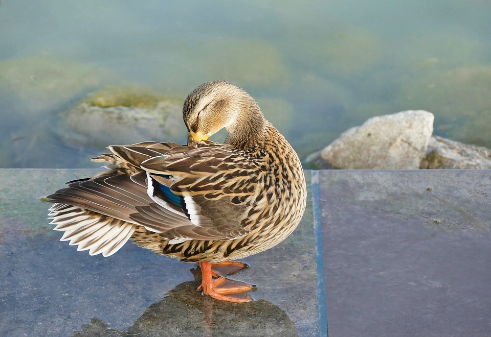 Duck, Bird, Nature, Animal World, Animal, Wing