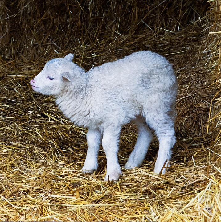 Lamb, Sheep, Mammal, Animal, Animal World, Nature, Farm