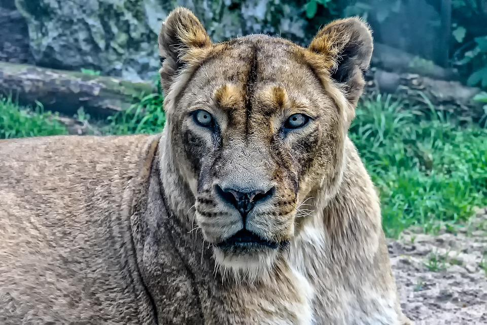Nature, Animal World, Animal, Lioness, Mammal, Wild