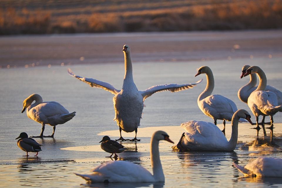 Swahn, Dance, Pond, Water, Bird, Nature, Animal World