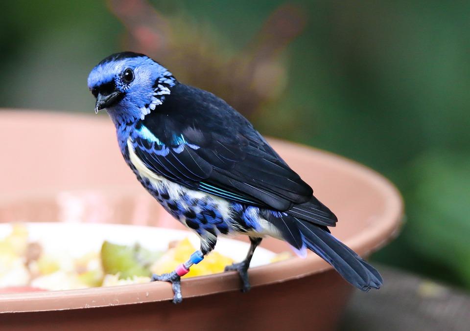 Animal World, Bird, Turquoise-tangare, Exotic