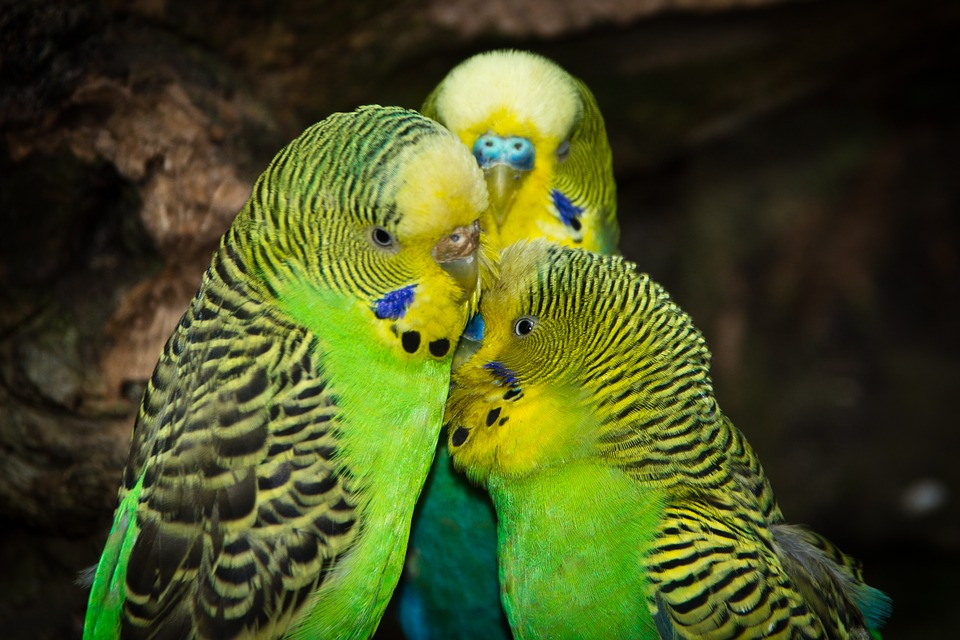 Budgerigars, Birds, Animal World, Parakeet, Creature