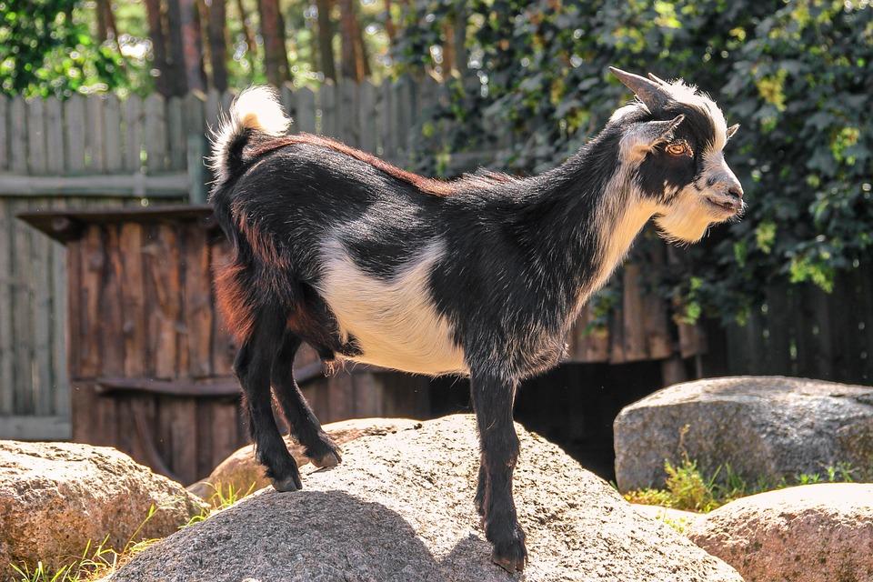 Goat, Horns, Stones, Black, White, Animal, Animal World