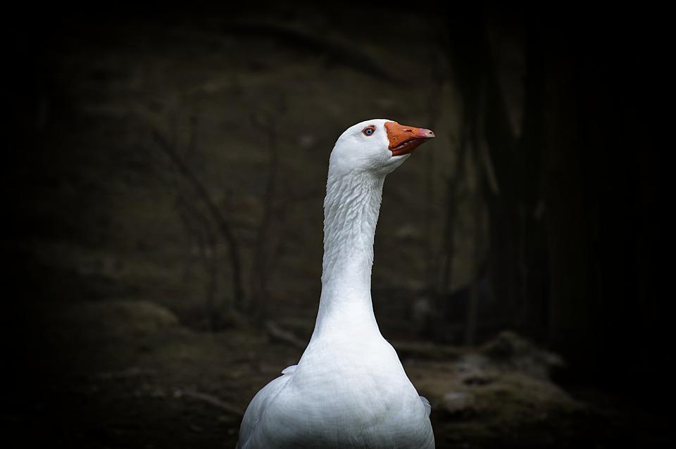 Goose, White, Blue Eye, Bird, Nature, Animal World
