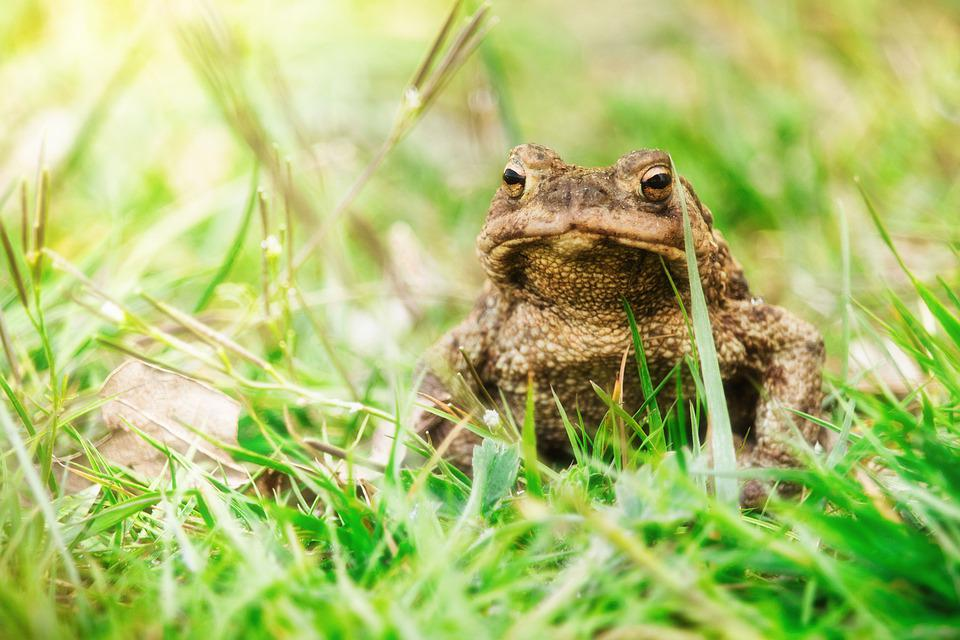 Common Toad, Toad, Animal, Frog, Brown, Animal World