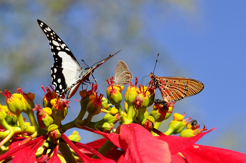 Butterflies, Poinsettia, Animal World, Flora, Fauna