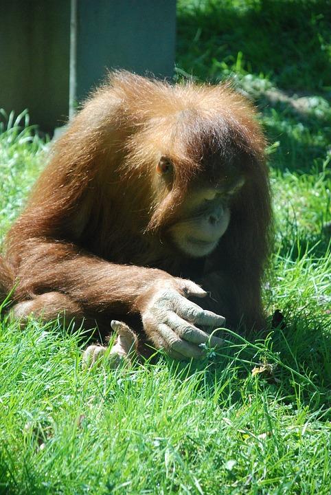Monkey, Zoo, Animal, Animal World, Cute, Orang Utan