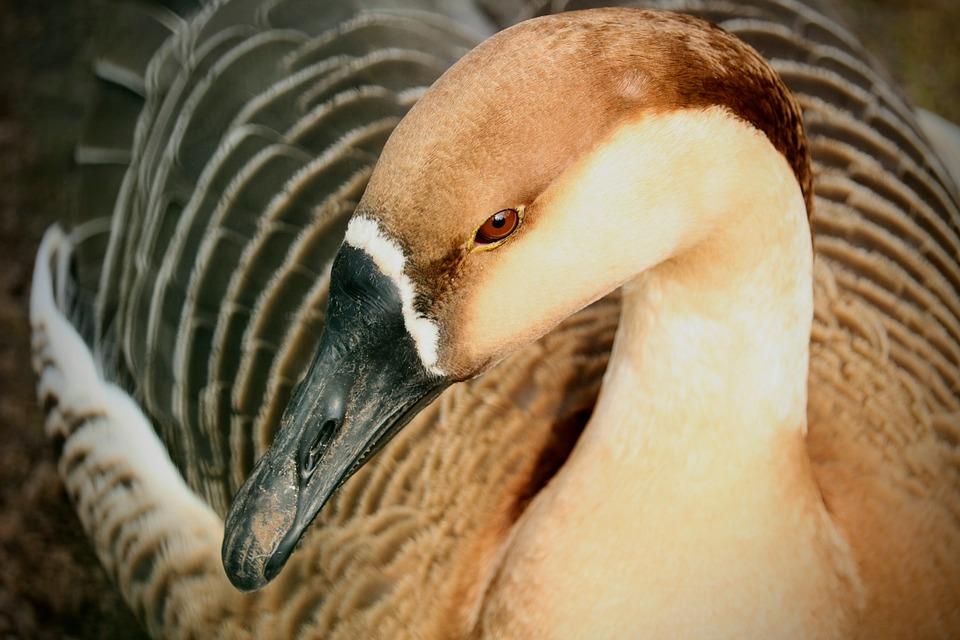 Nature, Animal World, Bird, Animal, Wild, Elegant, Duck