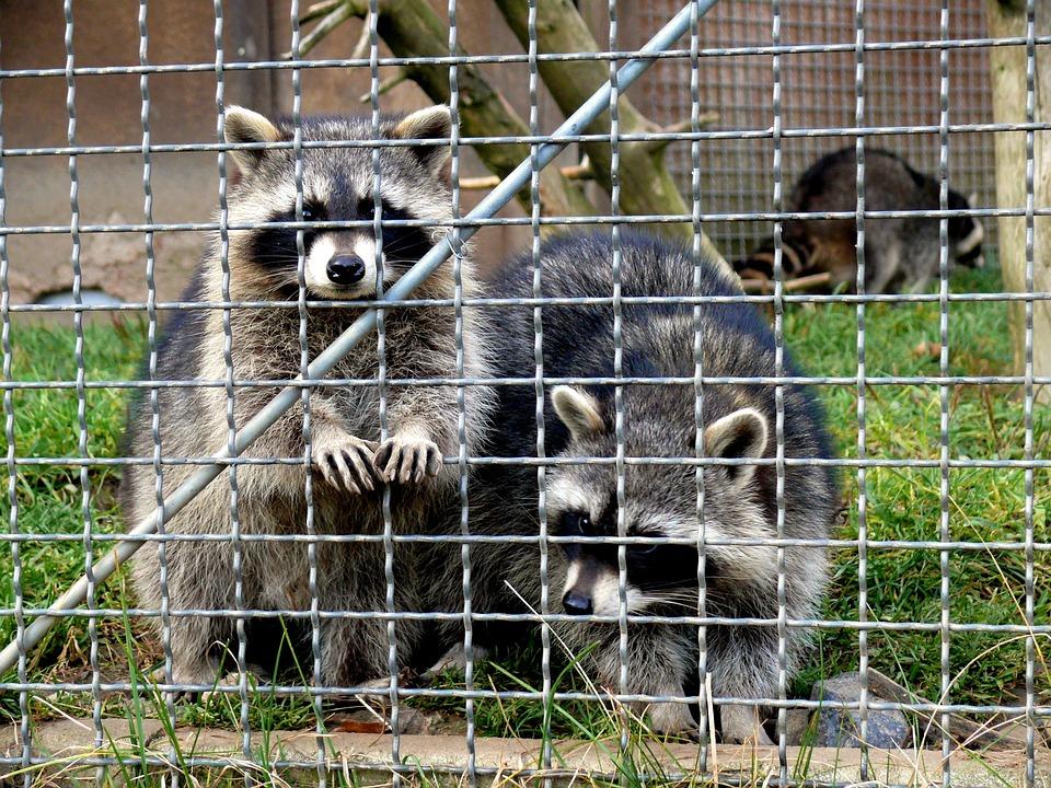 Raccoons, Enclosure, Animals, Fur, Animal World