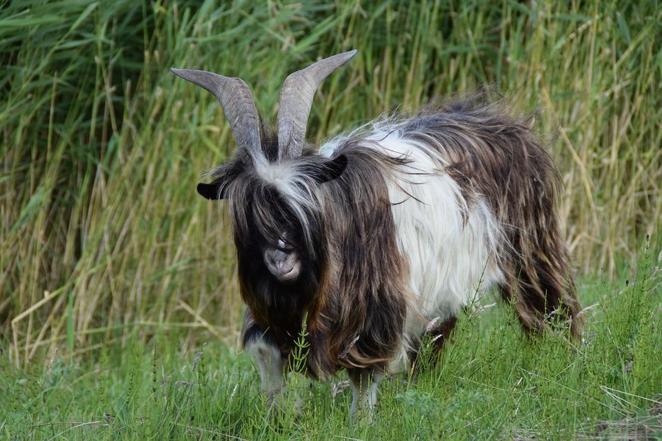 Goat, Goats, Cattle, Animal, Animal World, Horns, Farm