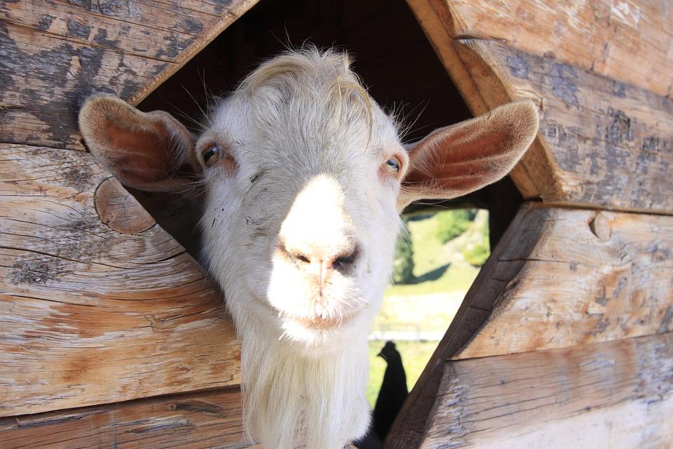 Capra, Farm, Goat, Animal World, Natural Park, Mountain