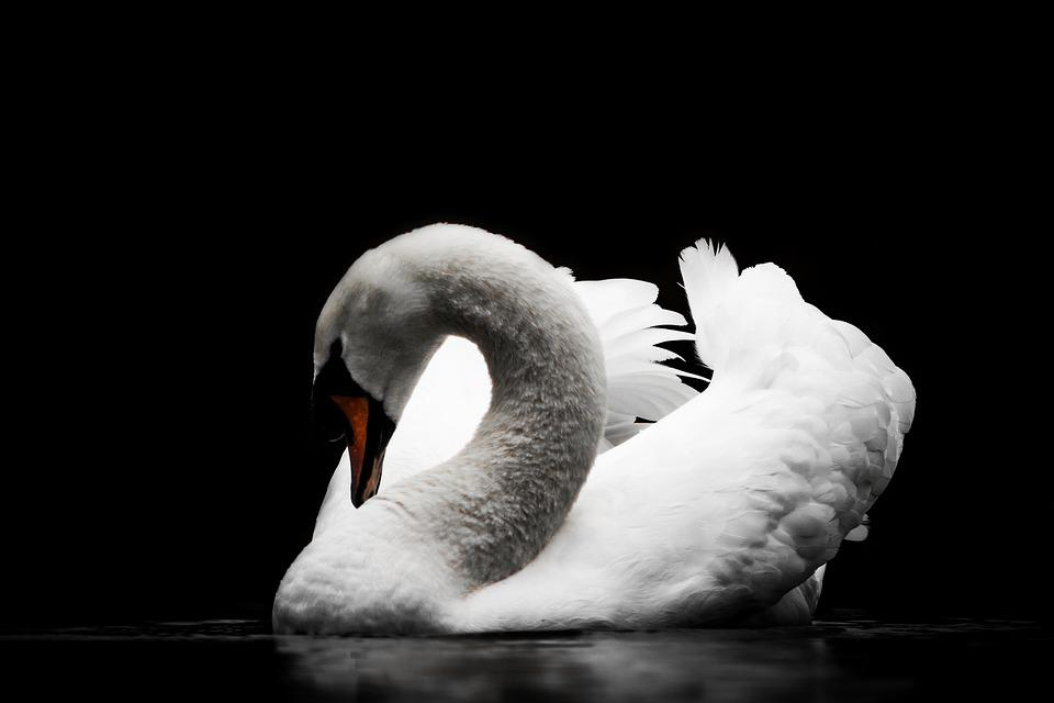 Bird, Swan, Nature, Waters, Animal World, Feather
